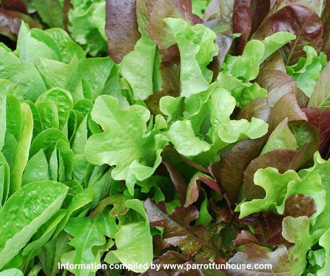 Red leaf lettuce safe for parrots