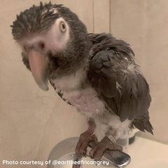 Feather plucking african grey sitting on a sink