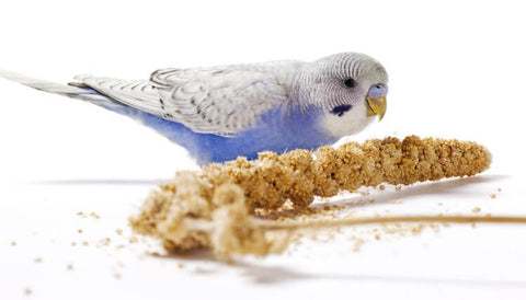 Millet spray safe for birds