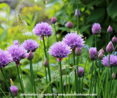 Chive flowers safe for parrots