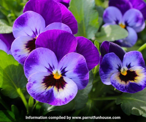 Pansy safe for parrots
