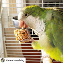 Load image into Gallery viewer, Quaker Parrot eating Lafeber Fruit Delight AviCakes Parrot Funhouse