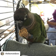 Load image into Gallery viewer, Quaker Parrot eating Lafeber PelletBerries Sunny Orchard Parrot Funhouse