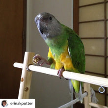 Load image into Gallery viewer, Senegal Parrot eating Lafeber PelletBerries Sunny Orchard Parrot Funhouse