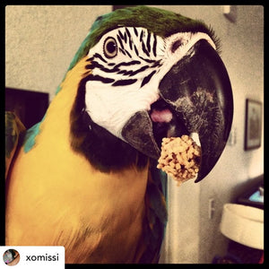 Blue and gold macaw eating Lafeber PelletBerries Sunny Orchard Parrot Funhouse