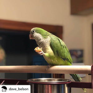 Conure eating Lafeber Tropical Nutriberries Parrot Funhouse