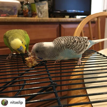 Load image into Gallery viewer, Budgie eating Lafeber Tropical Nutriberries Parrot Funhouse