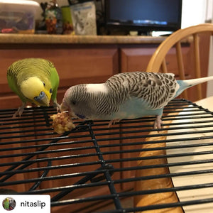 Budgie eating Lafeber Tropical Nutriberries Parrot Funhouse