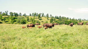 Bison herd on grassy ranch