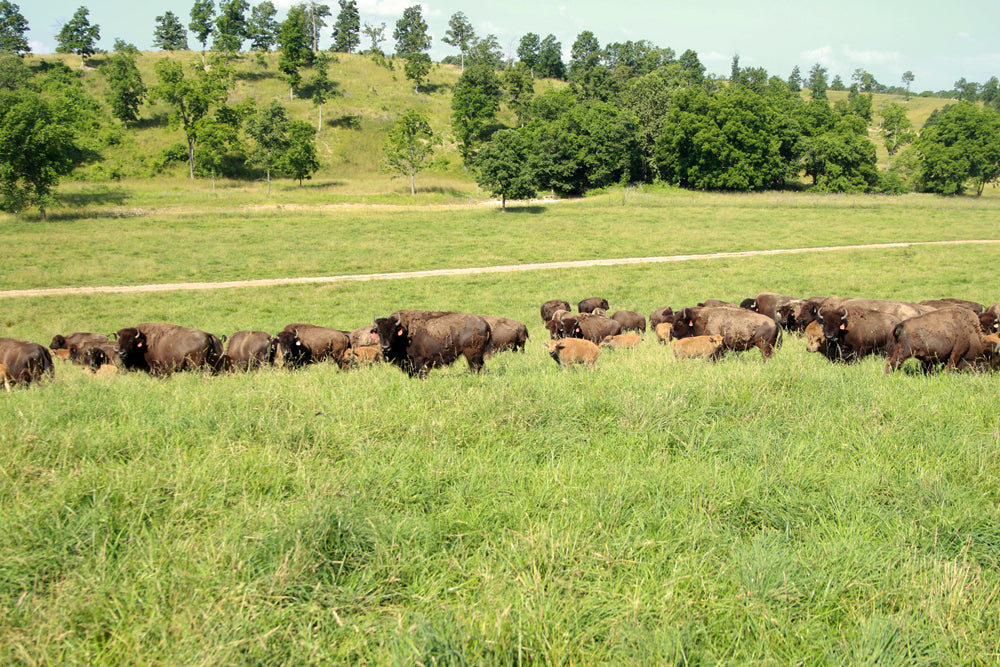 Bison Herd on the Ranch