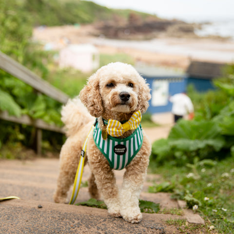 Dog at beach wearing green striped dog harness and yellow striped dog bow