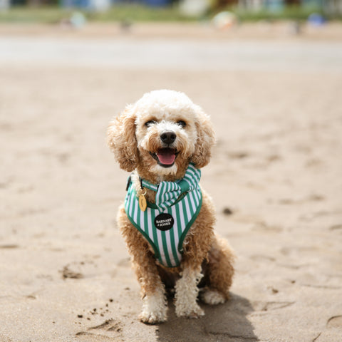 Dog on beach wearing green striped dog harness and bow tie