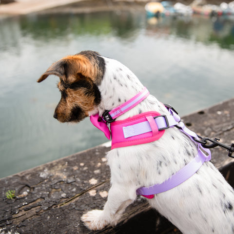 Jack Russell looking into water wearing pink and purple dog harness
