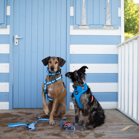 Two rescue dogs sat in front of beach hut in blue dog harness, collar, lead and bow