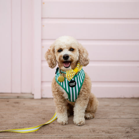 Dog sat in front of beach hut wearing green striped dog harness and yellow striped dog bow