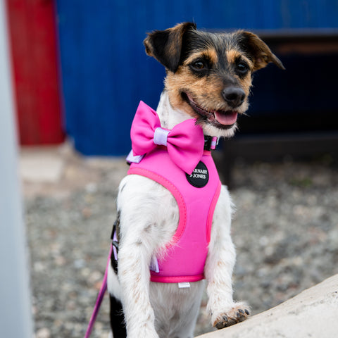 Jack Russell in front of beach hut wearing pink dog harness and bow tie