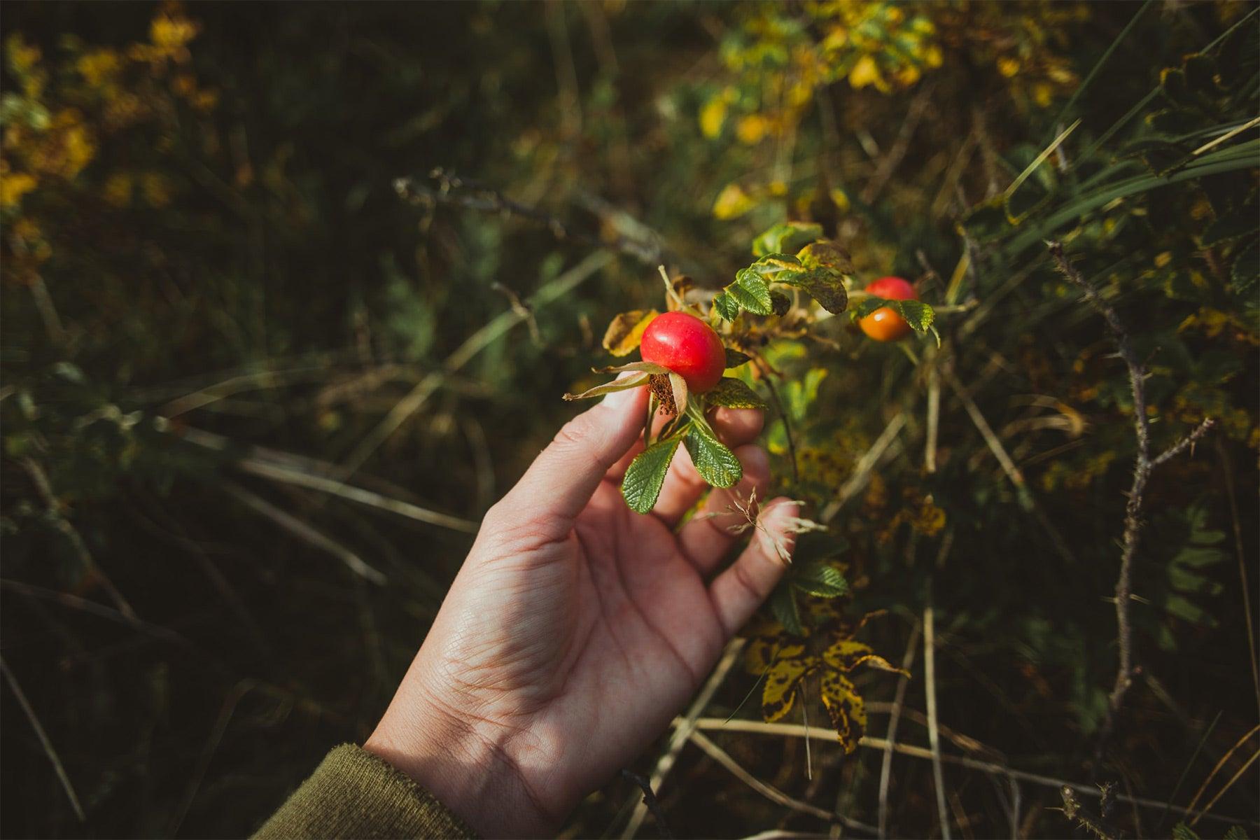 Positive Ingredient Spotlight: Rosehip Seed Oil