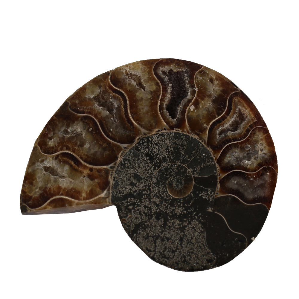 Sea Ammonite Fossil Set from the Jurassic Period - Dark