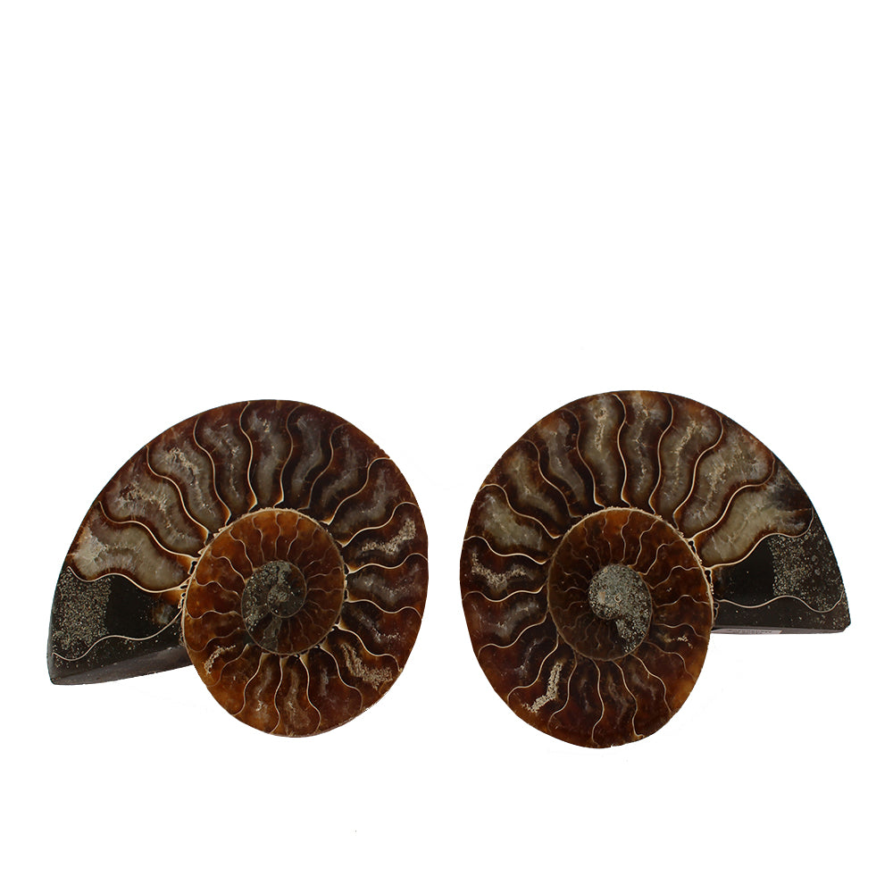 Sea Ammonite Fossil Set from the Jurassic Period - Large