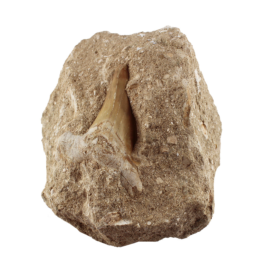 Authentic Shark Tooth Fossil in Natural Rock Bed - 3