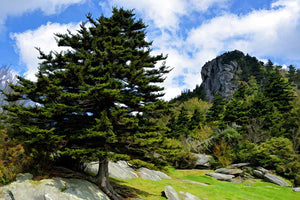 A majestic evergreen among rocks and moss dwarfs a view of Grandfather Mountain in the distance on a chilly fall day.  Grandfather View by Alison Thomas of Serenity Scenes Photography and Digital Art.
