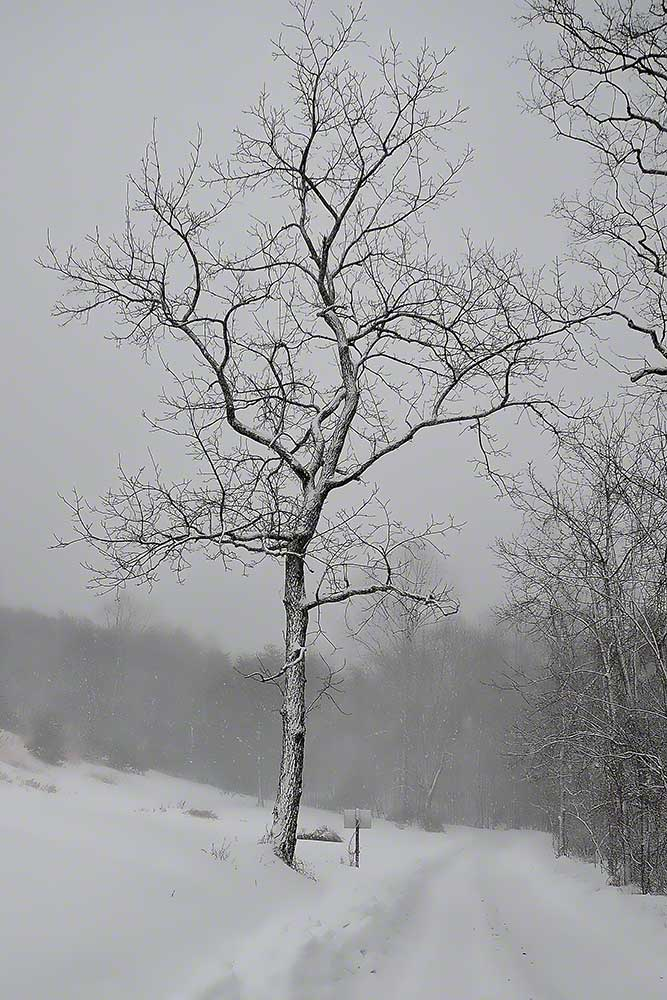 A bare tree along a snow-covered road stands out from the still falling snow.  Stormy by Alison Thomas of Serenity Scenes Photography and Digital Art