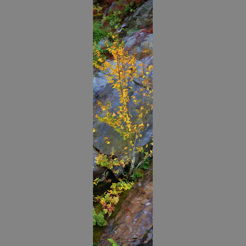 A small tree with yellow leaves growing in a rock face.  Yellow on the Rocks by Alison Thomas of Serenity Scenes Photography and Digital Art.