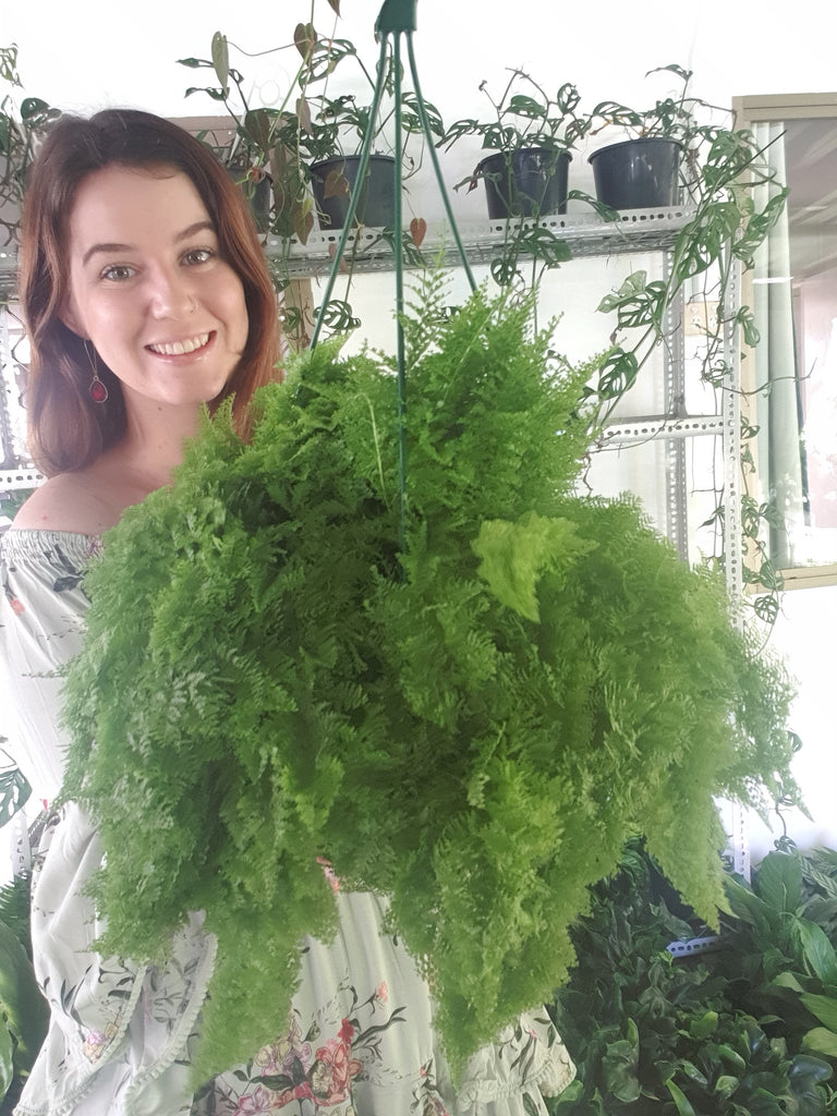 Cotton Candy Hanging Fern
