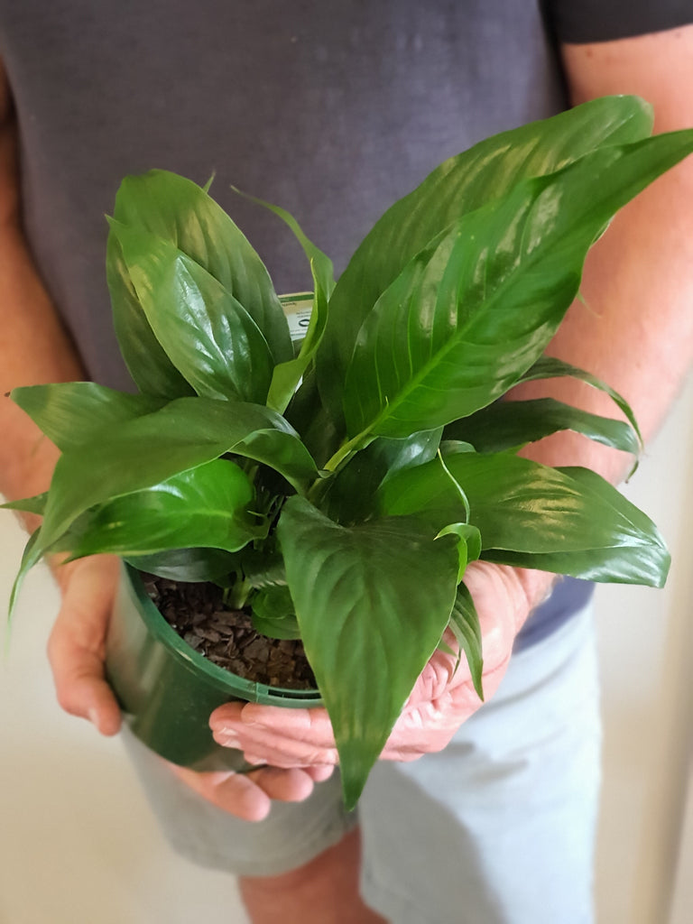 Peace Lily 180mm