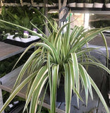 Spider Plant Hanger 250mm