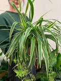 Spider Plant Hanger 200mm
