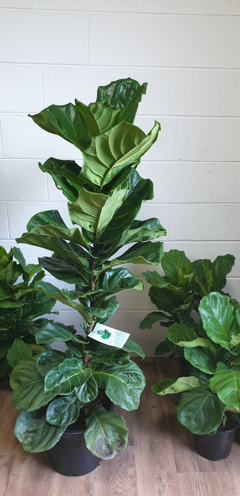 XL Fiddle Leaf Fig