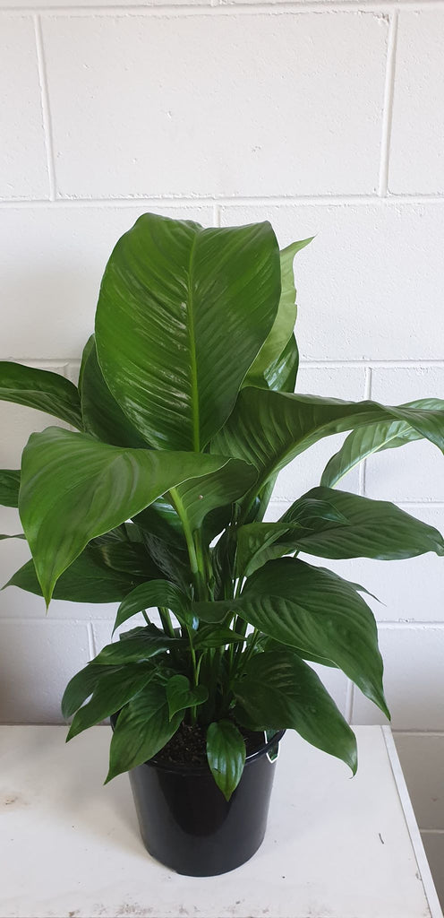 Spathiphyllum (Peace Lily) 200mm