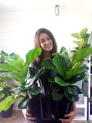 Fiddle Leaf Fig 200mm