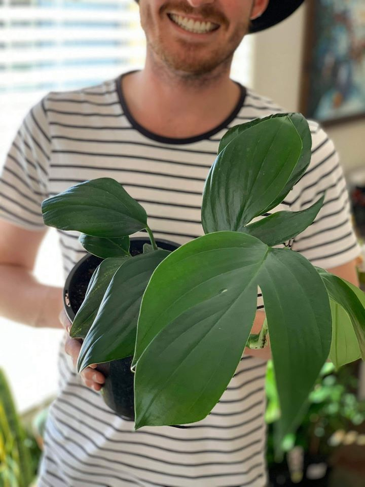 Dragons Tail (QLD Monstera)
