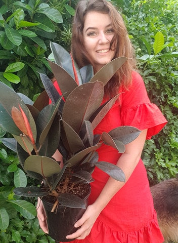 Burgundy Rubber Tree