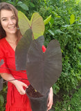 Colocasia Black Magic