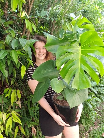Giant Monstera