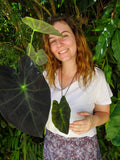 Colocasia Dark Shadows