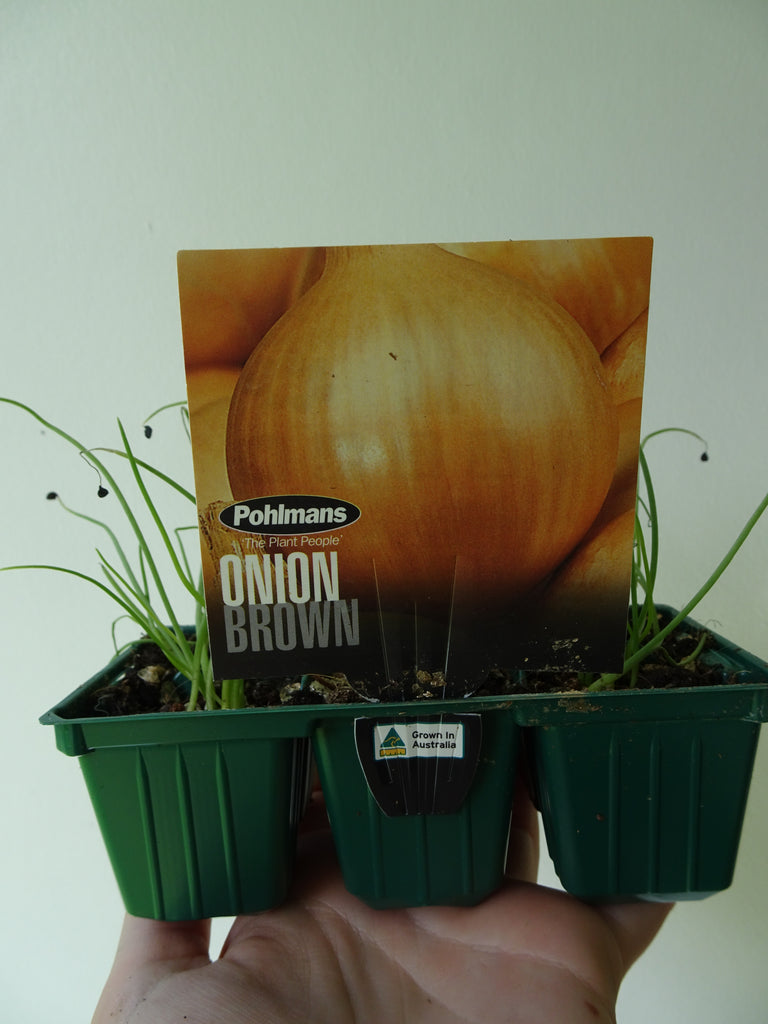 Brown Onion (6)