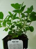 Thai Mint Pot