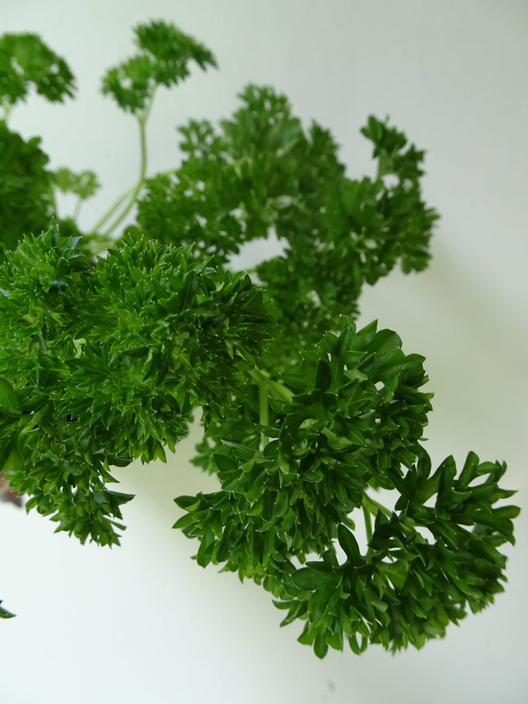 Afro Parsley Pot