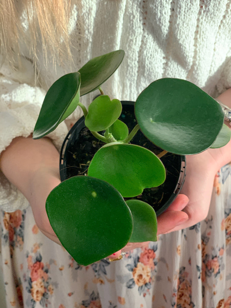 Peperomia Lucky Dip 105mm