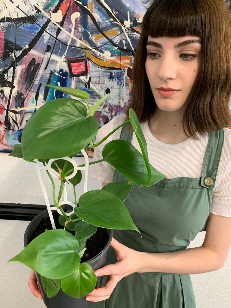 Heart Leaf Philodendron 175mm