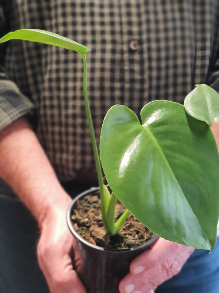Baby Monstera 105mm