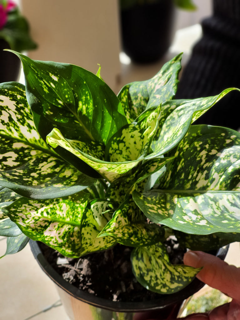 Aglaonema White