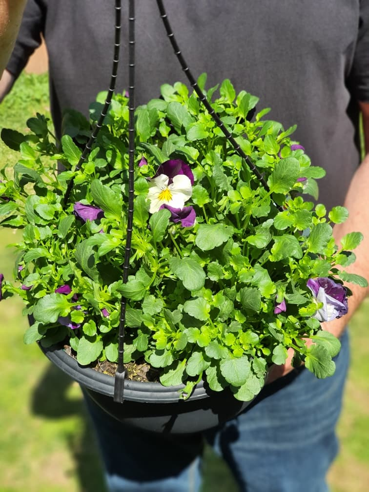 Spreading Pansy Violet Wings Hanging Basket