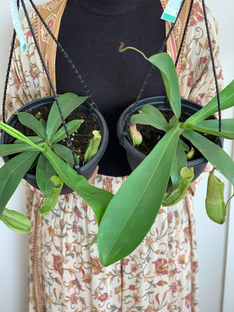 Nepenthes 'Carnivorous Pitcher Plant'