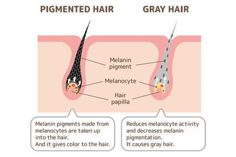 Structure of grey hair follicle
