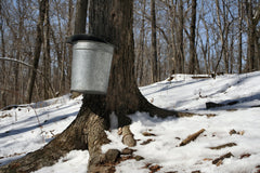 Maple tree tapped with buckets